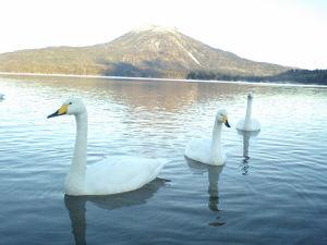 2008.11月 阿寒湖に飛来した白鳥
