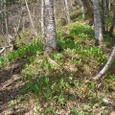春の山に伸びるキトピロ