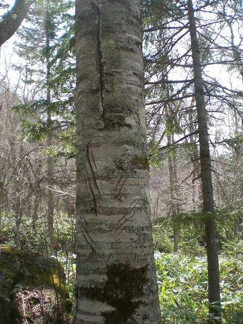 松の木に刻まれた熊の爪痕