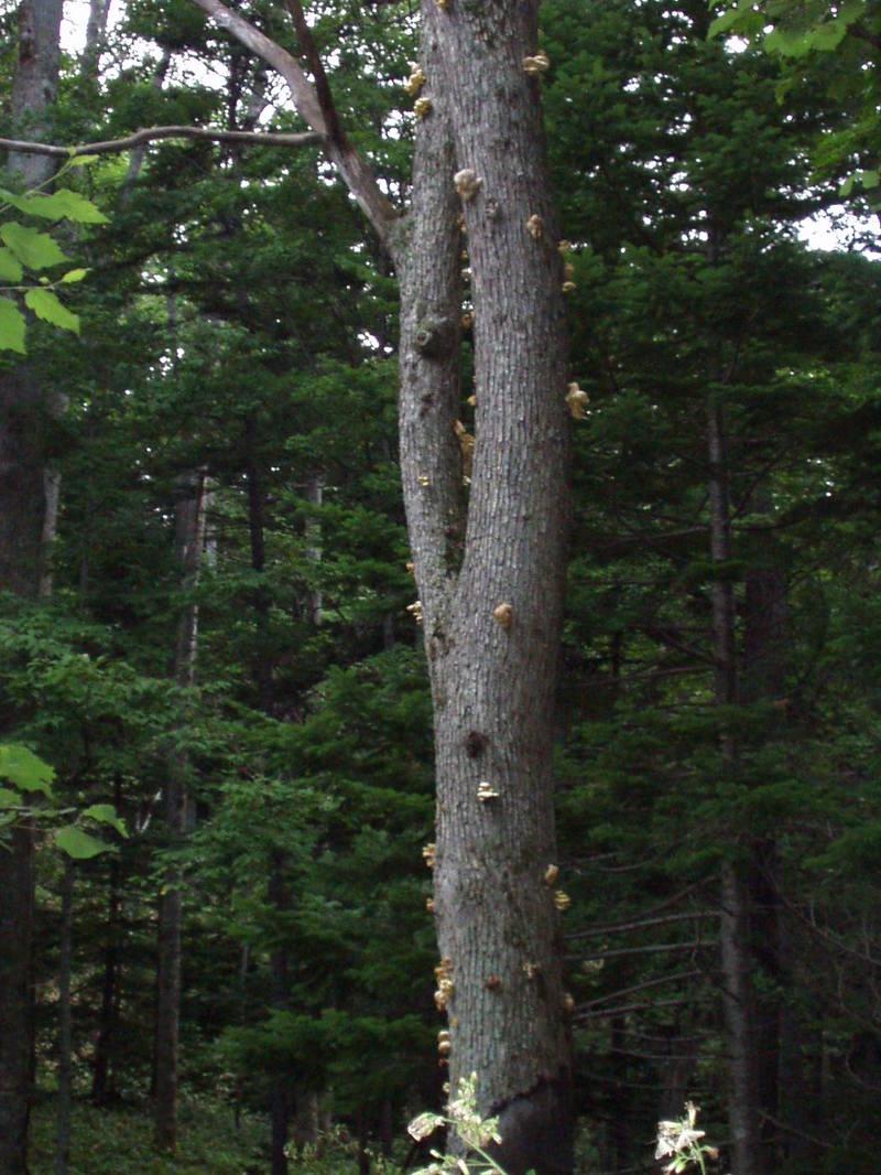 タモギタケの木